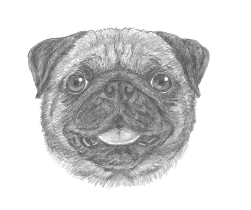How to draw a pug